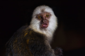 Portrait of adult female white-headed marmoset (Callithrix geoffroyi)