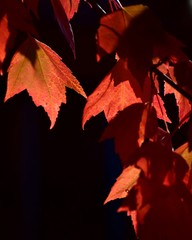 Red maple leaves isolated by late light afternoon.