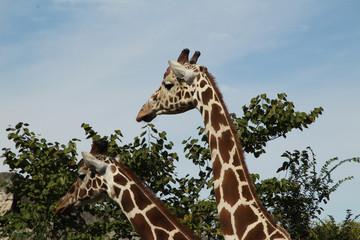 Two Giraffes