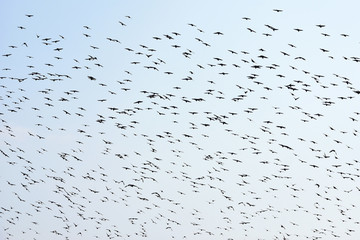 Silhouettes of flying birds on a clear sky