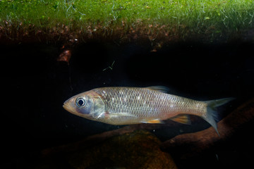 The european chub (Squalius cephalus) in the water under green water plants. Brown fish in the water