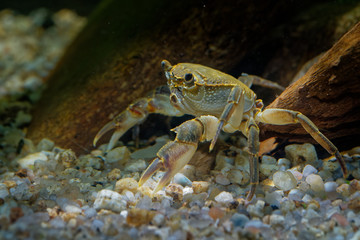 Freshwater Crab - Potamon fluviatile living in wooded streams, rivers and lakes in Southern Europe