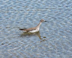 Bird strolling in caribbean lake