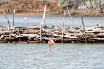 Flamingo standing in front of wood dam in Bonaire