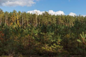 Fototapeta jesień w lesie młode choinki obraz