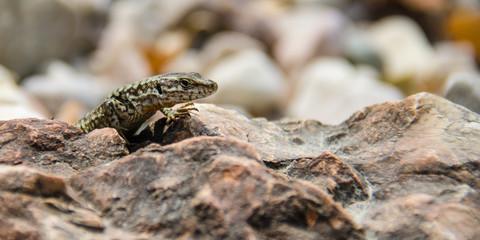 Jaszczurka stojąca na kamieniu