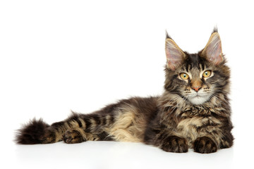 Wall Mural - Young Maine Coon lying on a white background