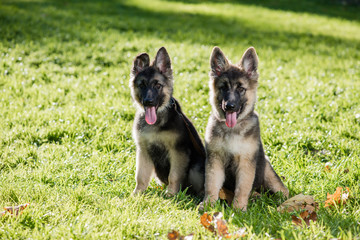 Cute shepherd puppies posing on the grass