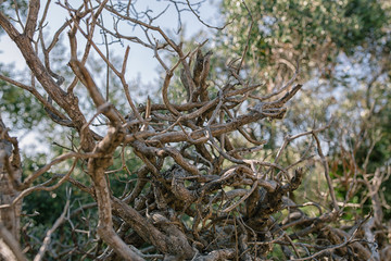Dry vine tree in the fence in the south of France