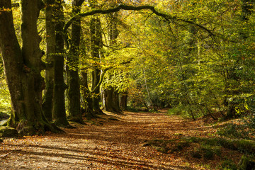 Autumn woodland path at Golitha, Cornwall, UK