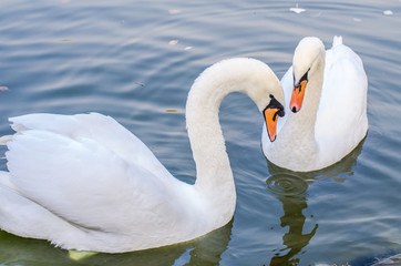 Two white swans swims in a pond together. Closeup