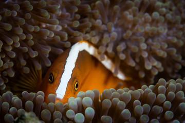 Orange Anemonefish and Anemone in Indonesia