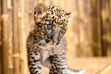 A baby leopard cub with a curious look on its face