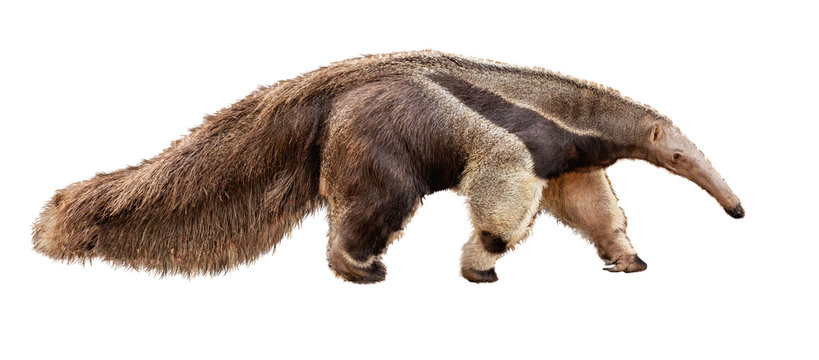 Anteater Facing Side Extracted