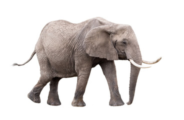 Foto op Plexiglas Olifant Elephant Walking Side Extracted