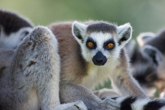 Portrait of ring tailed lemur