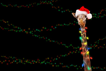 Zoo Giraffe Wearing Christmas Lights