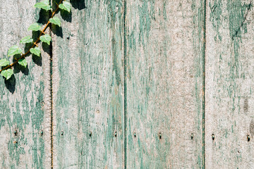 Green wooden fence with ivy leaves background