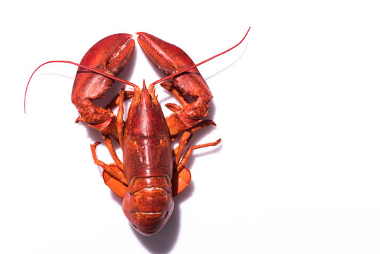 Lobster on white background with copy space