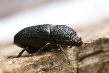 Male rhinoceros beetle, Sinodendron cylindricum on wood