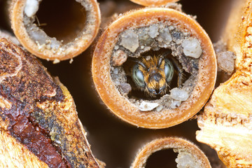 Wild solitary bee Osmia rapunculi (Syn. Chelostoma rapunculi), male looks before ecloses out of the nest hole in a hollow reed stem of an insect hotel.
