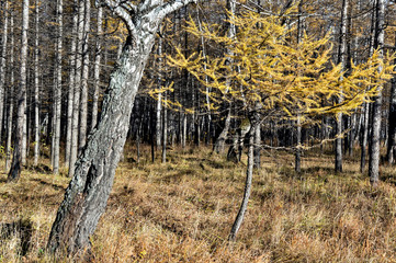 Fototapete - small yellow larch tree illuminated by the sun in the autumn forest