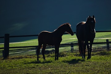 Two horses on a meadow one ot them is a foal with beautiful light on the back
