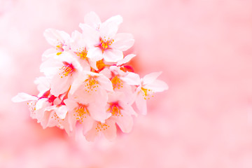 Wall Mural - Sakura cherry blossom flower bloom in spring season. Vintage sweet soft tone.