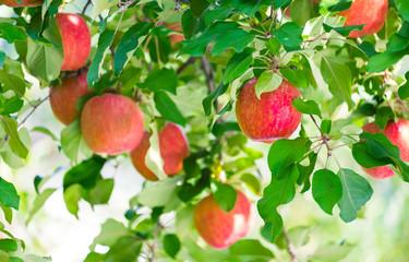 Organic fresh red apple tree in farm garden orchard. High fiber fruit.