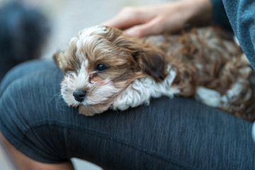 Havanese puppy sitting on the lap of a woman. Low deph of field.