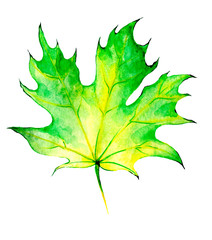 For decoration design. Botanical illustration. Autumn maple leaf with watercolor.
