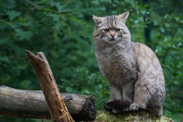 Wildkatze sitzend im Wald vor grünem Hintergrund