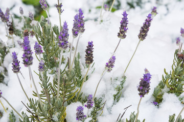 Lavender flowers under snow in unusually cold winter in Italy