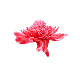 Colorful red etlingera elatior flower blooming or torch ginger ornamental isolated on white background with clipping path