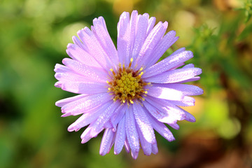 Closeup aster with morning dew