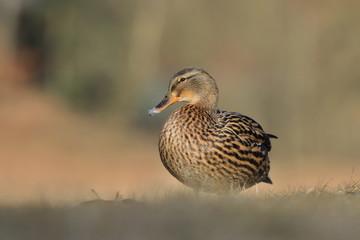 Female mallard on the ground. Wild duck. Wildlife scene from nature. Anas platyrhynchos