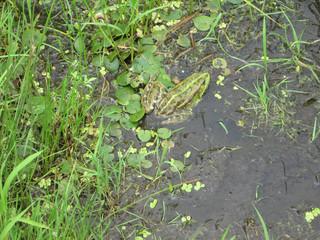 frog in pond The natural landscape and frog. Summer. Ukrainian landscape, Europe