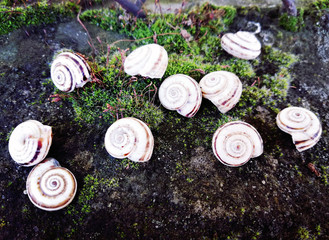 Grape snails, delicious treat,