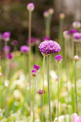 Tall Purple Allium just opening up (also known as ornamental onion or garlic)