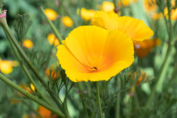 Flowers of California poppy
