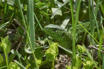 Green lizard basking in the spring sunshine.