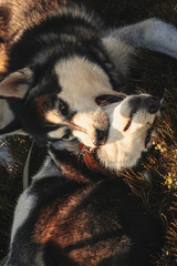 Two Siberian Husky travels the Ukrainian Carpathians. Mountain Range. Black and white dog Cute Husky. Game of two dogs