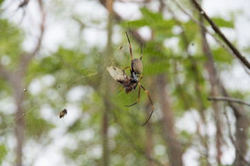Golden Orb weaver devouring a Cicada caught in its web
