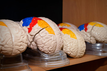 Human brain models in classroom