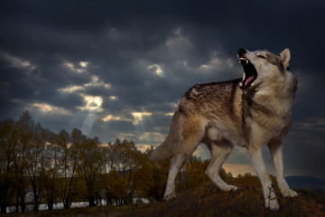an angry wolf grins and growls against the backdrop of the autumn landscape