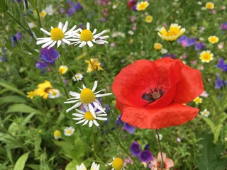 Close up of Red Poppy in remembrance field with yellow and white daisy flowers around on deep green meadow