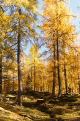Magical yellow larches glowing in the sunshine. Unusual and gorgeous scene.