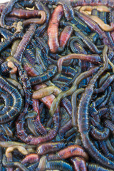 pile of wriggling sandworms/bloodworms used for fishing bait closeup