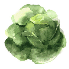 Savoy cabbage. Food illustration watercolor. Isolated on a white background. vector