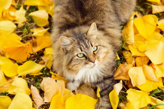 portrait of a Siberian cat lying on the fallen yellow foliage, pet walking on nature in the autumn